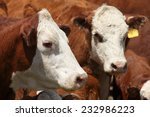 Hereford Cows In A Holding Pen