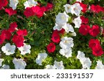 Lots Of Colorful Petunia...