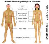 the male and female nervous... | Shutterstock .eps vector #233732107
