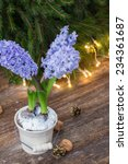 Winter Blue Hyacinth With...