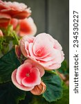 Beautiful Pink Flower Begonia