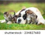 Saint Bernard Puppy With Three...