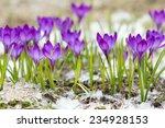 Beautiful Violet Crocuses On...