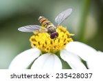 Small photo of Tephritidae on daisy