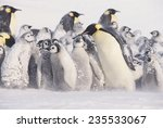 Young Emperor Penguins Covered...