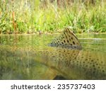 fly fishing for brown trout | Shutterstock . vector #235737403