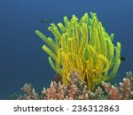 Noble Feather Star  Edel...
