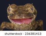 Small photo of Lizard portrait / Uroplatus guentheri