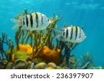 Small photo of Sergeant major fish, Abudefduf saxatilis, Caribbean sea