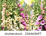 Common Foxglove Flowers And...
