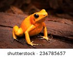 Poisonous Frog  Poison Dart...