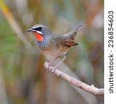 siberian rubythroat bird ... | Shutterstock . vector #236854603