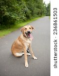 yellow lab dog smiles and takes ... | Shutterstock . vector #236861503