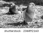 pigeon sitting  front view in... | Shutterstock . vector #236892163