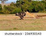 Lion Hunting A Buffalo In Masa...