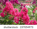 Flowers Pink Phlox