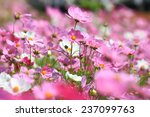 Cosmos Flower In The Garden