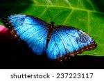blue common morpho butterfly... | Shutterstock . vector #237223117