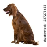 Sitting Red Irish Setter ...