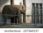 African Elephant In Zoo Behind...