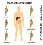 organs highlighted on the... | Shutterstock . vector #237388327