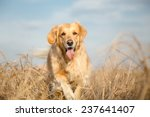 Golden Retriever Dog Outdoor...