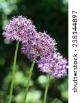 Small photo of Allium victorialis