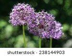 Small photo of Allium victorialis