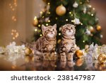 British Kitten  Christmas And...