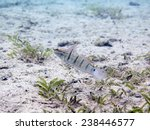 Small photo of Tailspot goby (Amblygobius albimaculatus) at the entrance of its burrow