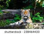 beautiful tiger. | Shutterstock . vector #238464433