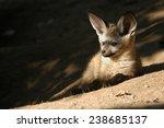 Bat Eared Fox Cub  Otocyon...