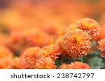Orange Chrysanthemum Flower In...