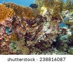 Argus Grouper  Cephalopholis...