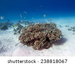 Small photo of Stone coral (Acropora humilis)