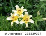 Three White Lilies In A Garden...