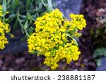 Small photo of Yellow flowers Alyssum obovatum in the garden
