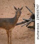 mini antilope dik dik | Shutterstock . vector #239035747
