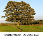 Oak Tree Standing In A Green...