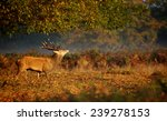 Large Red Deer Stag Under A Tree