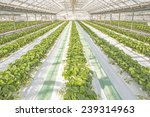 strawberry field in green house. | Shutterstock . vector #239314963
