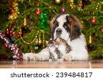 Stock photo little tabby kittens with saint bernard puppy sitting near a christmas tree 239484817