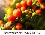 coffee cherries or coffee bean... | Shutterstock . vector #239748187