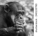 Portrait Of A Sad Chimpanzee...