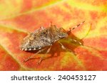 Halyomorpha Halys. Stink Bug....