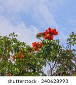 Small photo of Red flowers of African Tulip Tree or fountain Tree