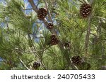 Pine Cones On Tree Branches...