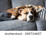 bulldog mix puppy sleeping on... | Shutterstock . vector #240714607