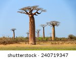 beautiful baobab trees at the... | Shutterstock . vector #240719347