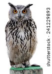 the indian eagle owl  also... | Shutterstock . vector #241229893